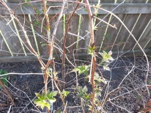 Raspberries that need pruning