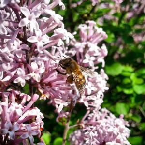 Bee on a lilac bush