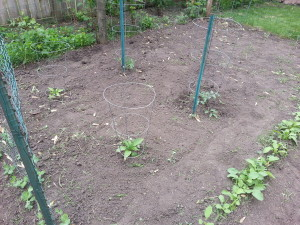 Garden - tomatoes and peppers