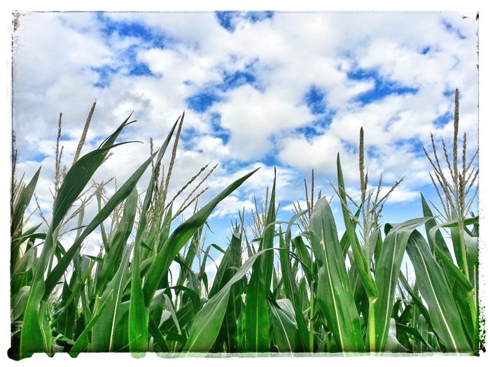 Blue sky and white clouds above an Iowa corn field