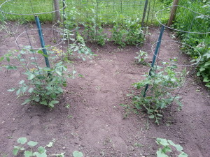Garden view of tomatoes & peppers