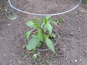 Jalepeno pepper in garden