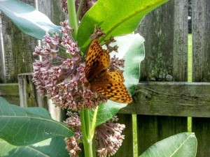 Milkweed with butterfly