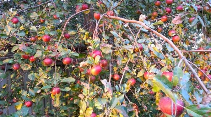 Wordless Wednesday – Apple Tree