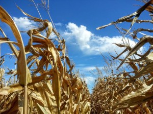 Iowa corn field with blue skies and clouds