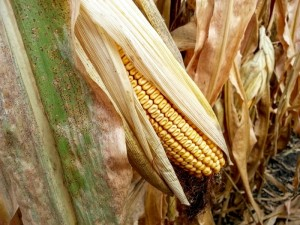 Ear of corn ready for harvest