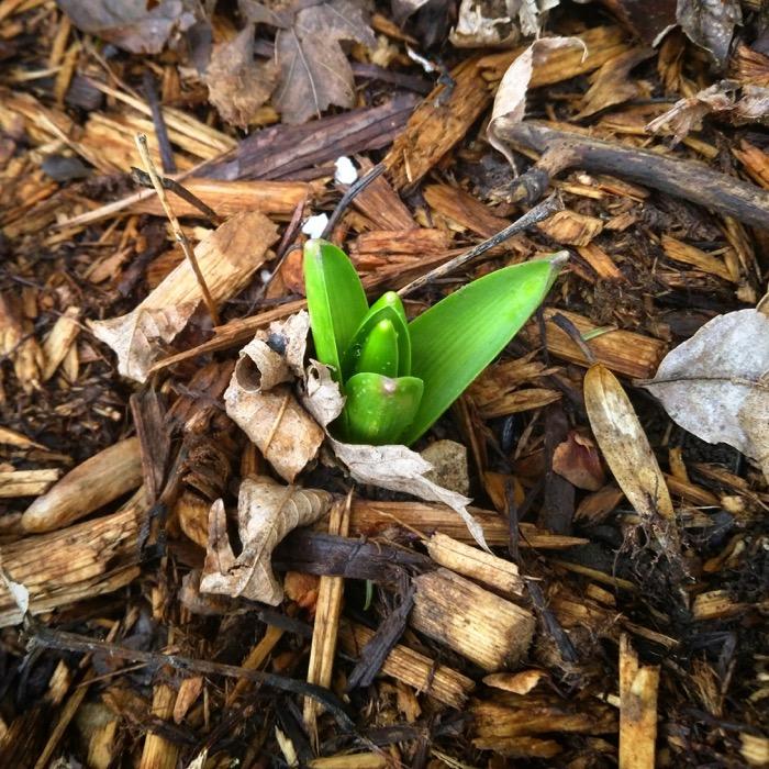 Hyacinth poking through wood mulch
