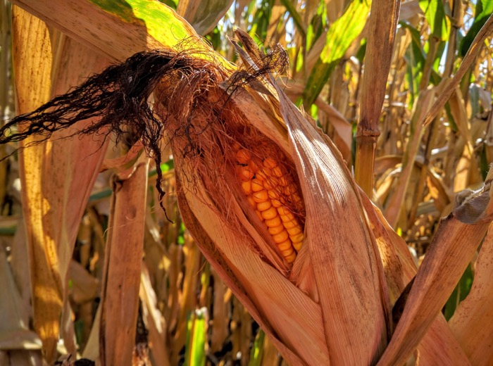 dried-ear-of-corn-on-the-stalk-ready-to-be-picked