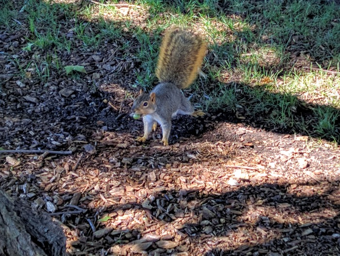 squirrel-with-an-acorn