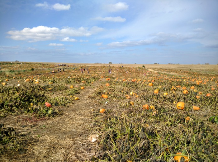the-pumpkin-ranch-pumpkin-field