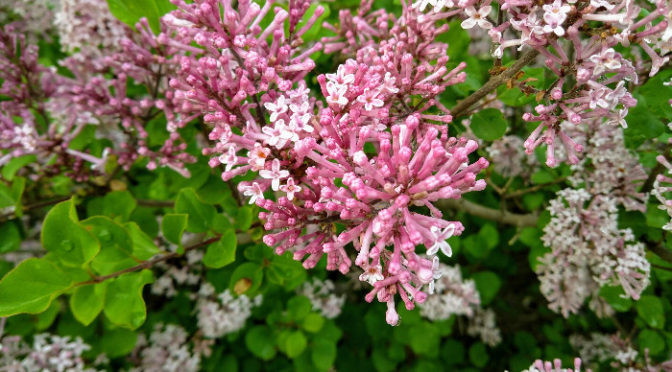 Wordless Wednesday – Spring Lilacs