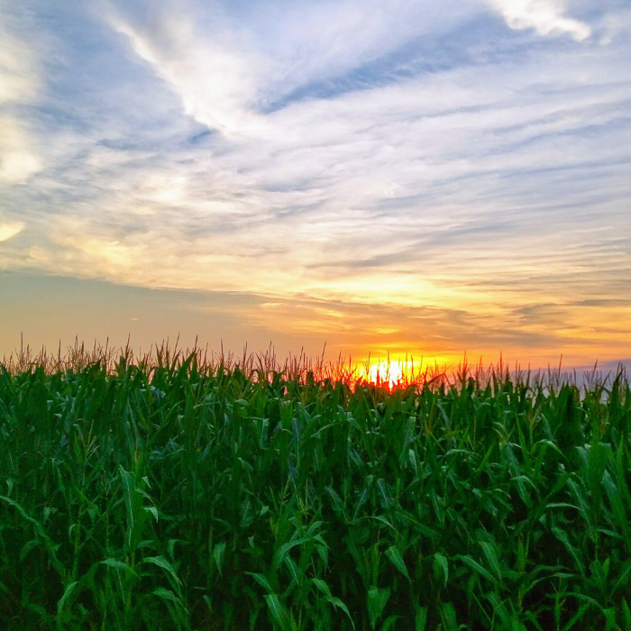 Iowa Cornfield Sunset