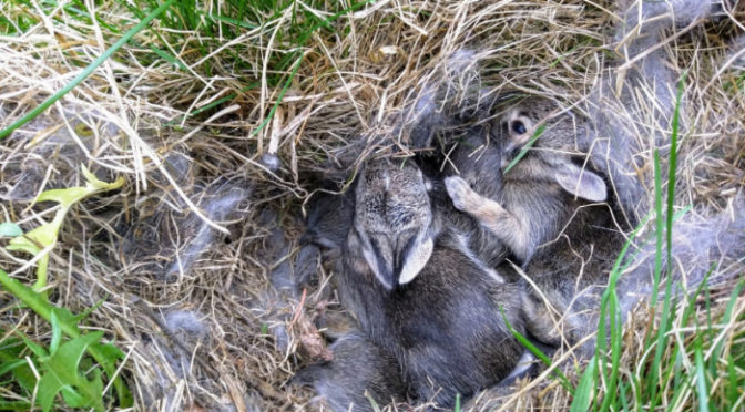 Wordless Wednesday – Baby Bunnies